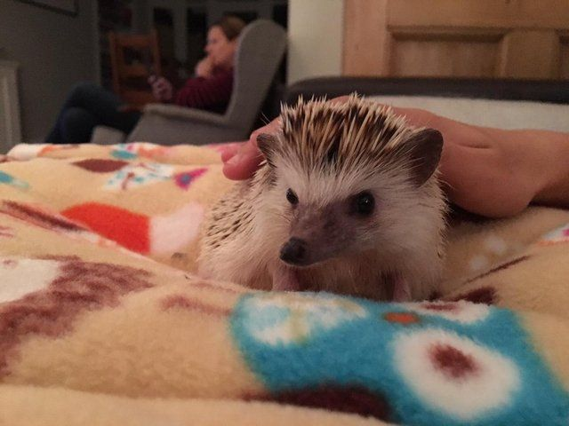 Young male African Pygmy Hedgehog for sale For Sale in Earlsfield, Wandsworth