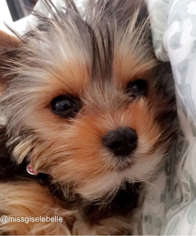 Yorkie Yorkie Puppy Biewer Yorkie Cute Puppies