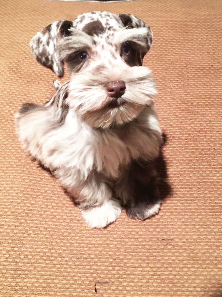 Merle toy schnauzer with blue eyes