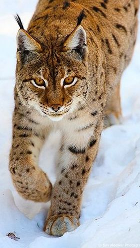 Lynx and winter . from Iryna