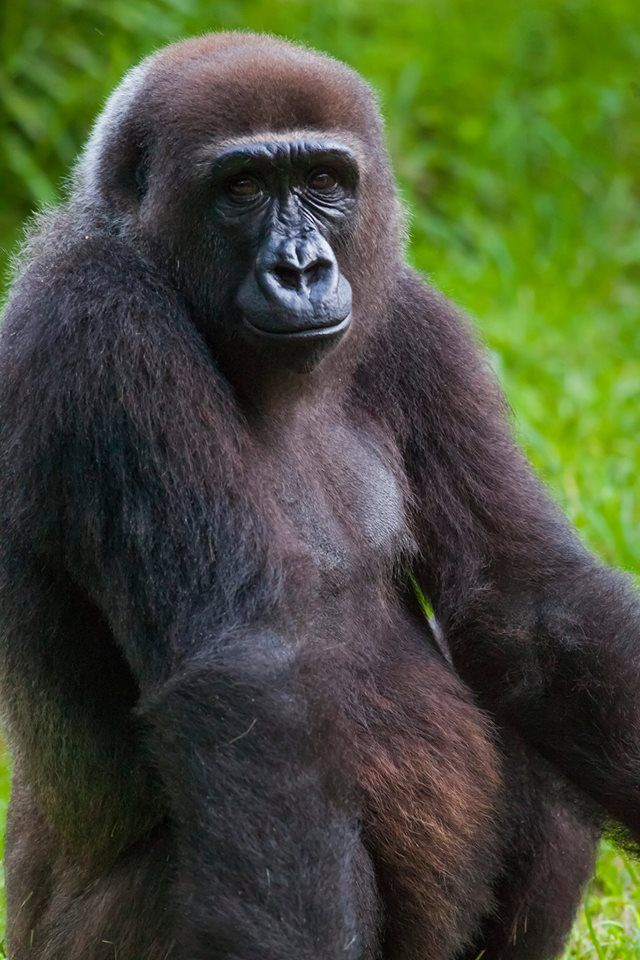 Our 12-year-old gorilla, Pele, is pregnant and expected to give birth later this year. With a gestation period of 8 1/2 months, Pele is expected to give birth in Nov. 2014.