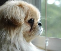 Pekingese Dog Lovers