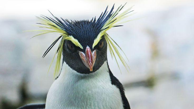 Las características del pingüino de penacho amarillo norteño