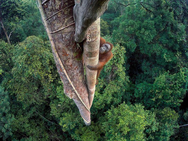 Und hier kommt der Hauptgewinner des Wettbewerbs: Tim Laman ist Biologe mit großem Talent für Fotografie. Der Amerikaner forscht im Urwald von Borneo und dort gelang ihm mit einer GoPro-Kamera diese unglaubliche Aufnahme eines kletternden Orang-Utans aus der Vogelperspektive.