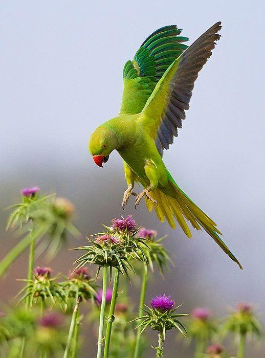 Rose-ringed Parakeet.