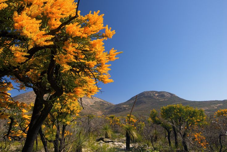 """A """"Christmas Tree"""" in full bloom: photographed in the Cape Le Grand National Park, east of Esperance"""