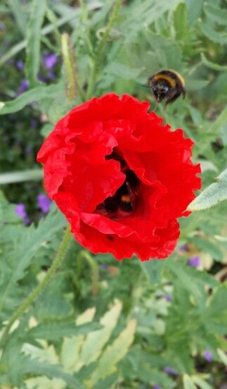 Flanders Poppies just in time for Armistice day and better still the bumble bee's love them.