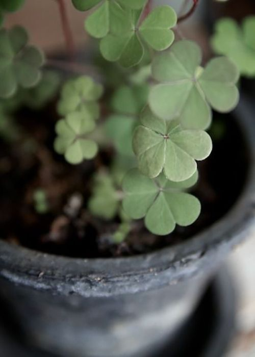 267 best images about plants toxic to cats on pinterest lily of the valley poisonous plants - Shamrock indoor plant ...