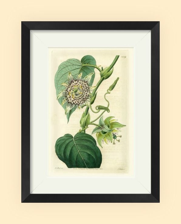 Antique Passionflower I