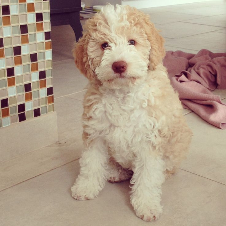 My Sweet Camelia, Lagotto Romagnolo, instagram: cosmolikesfashion