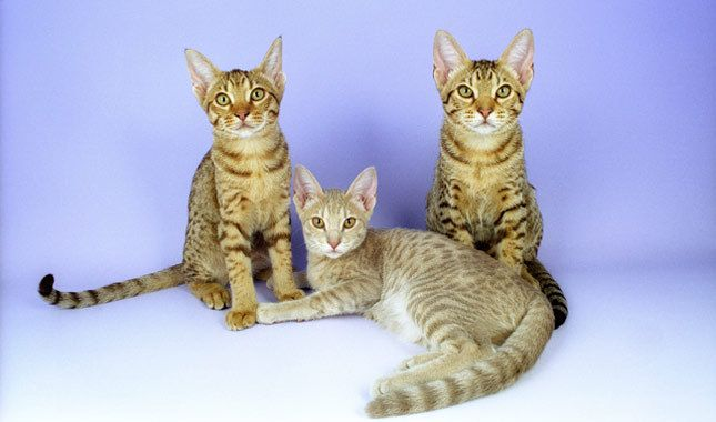 Ocicat: Who doesn't love a spotted cat? Random spots in tawny, chocolate, cinnamon, blue, lavender or fawn dot the Ocicat's coat, which has a silver or nonsilver background. The wild look is just a façade, though. The Ocicat is a playful, sociable pet.