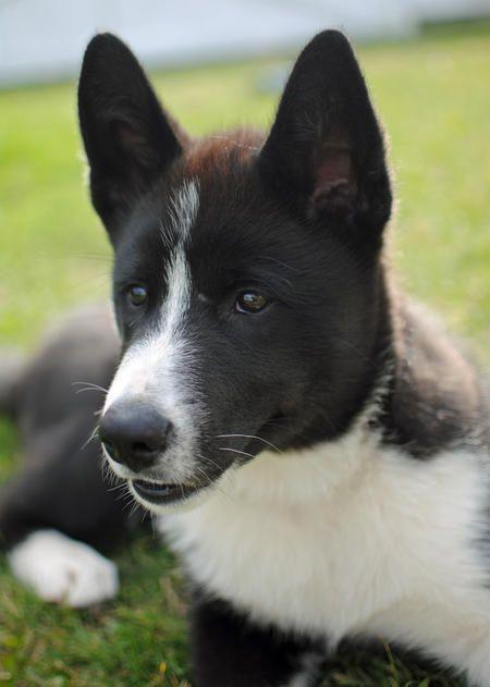 Bones the Malamute Mix -- Puppy Breed: Alaskan Malamute / Karelian Bear Dog