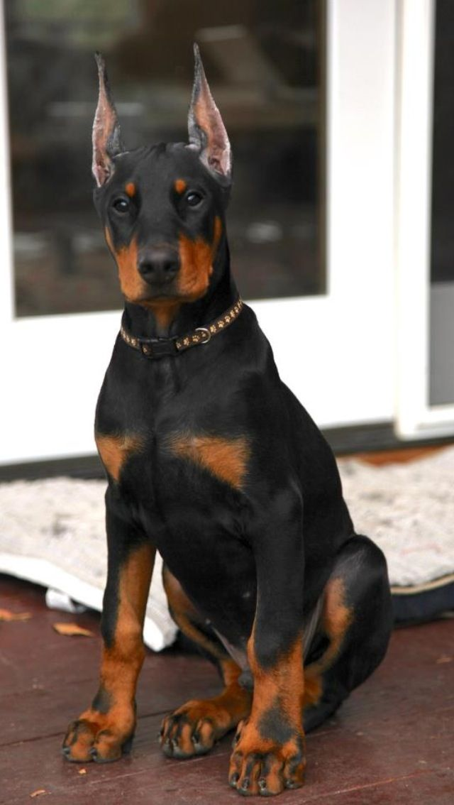 "Click visit site and Check out Best ""Dobermann"" Shirts. This website is superb. Tip: You can search ""your name"" or ""your favorite shirts"" at search bar on the top."