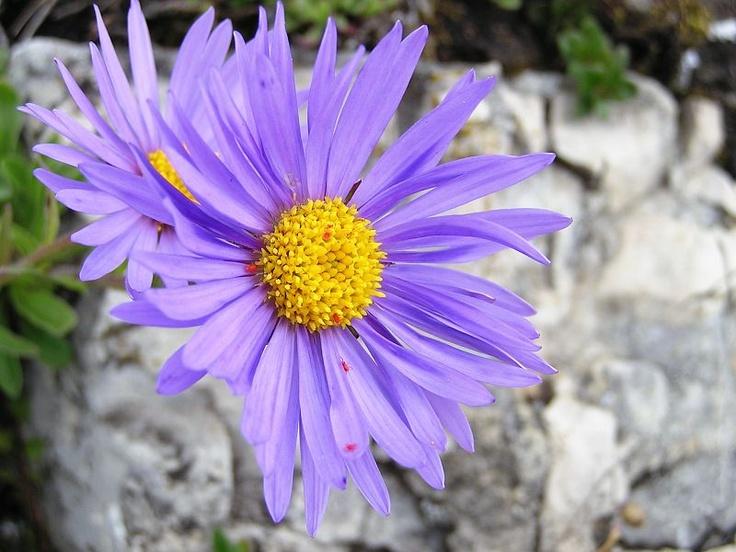 Flowers of Rozsutec - Aster alpinum.