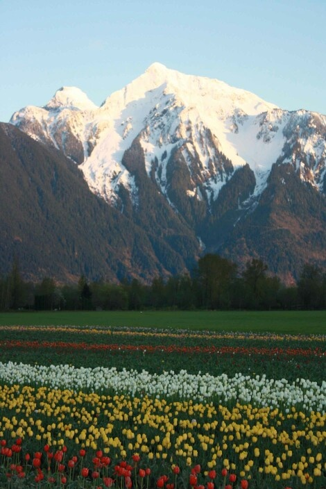 Tulips in April. Chilliwack BC