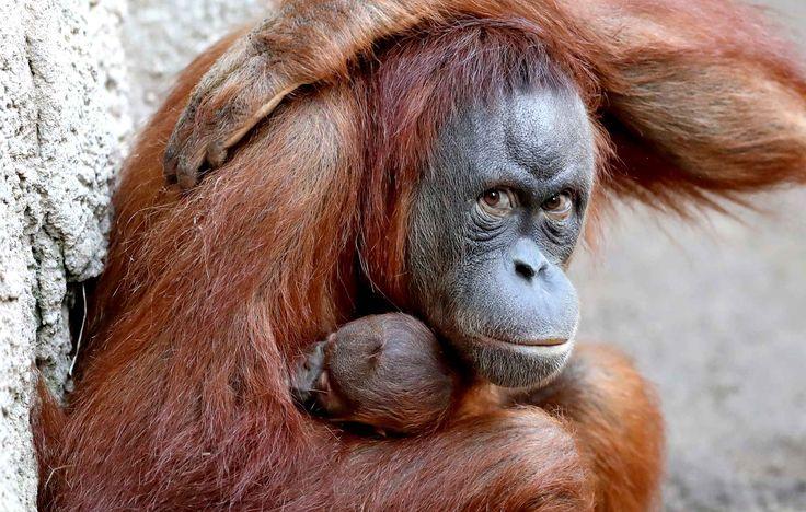 Raja protège bien son bébé orang-outan, au zoo de Leipzig, le 3 avril.