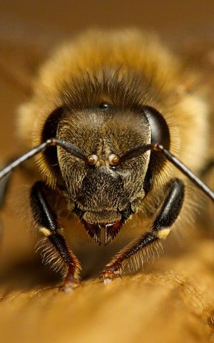 The Worker Bee Infertile Female Of Hive Honey Makers Lets