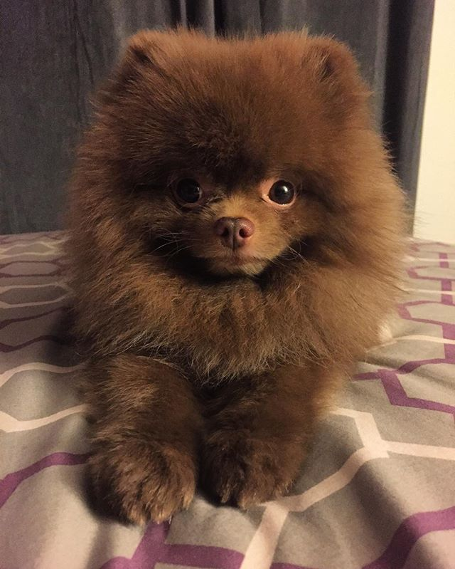 Chocolate pom - can we go out?