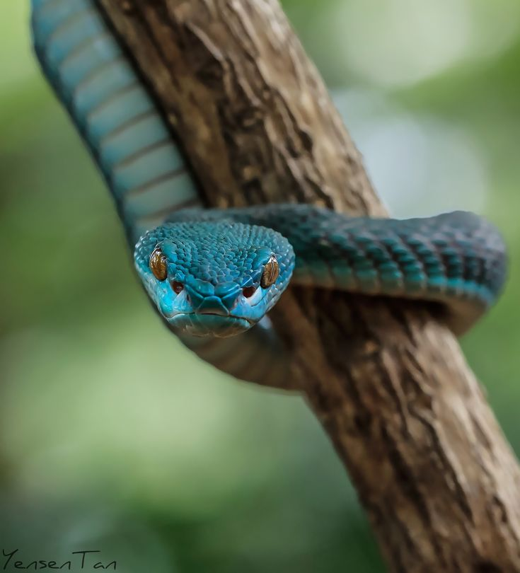 Blue - Trimeresurus Insularis #snake viper