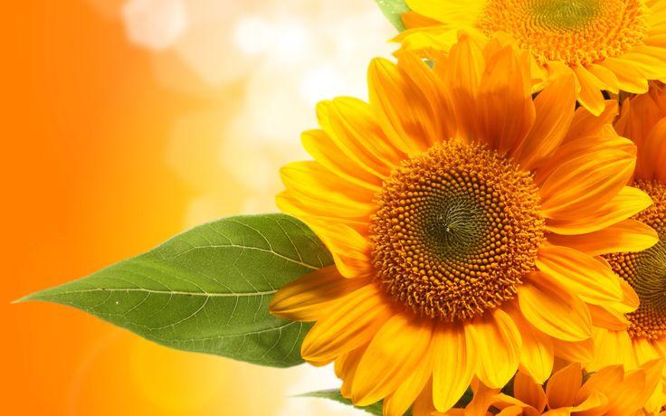 Beautiful Sunflower Wallpaper Wallpaper