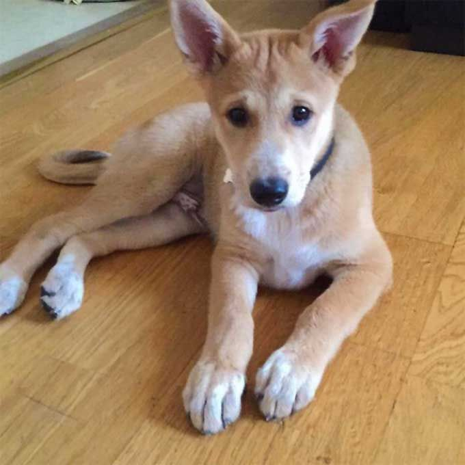 Canaan Dog information including pictures, training, behavior, and care of Canaans and dog breed mixes.