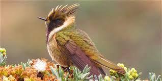 Resultado de imagen para especies colibries colombianos