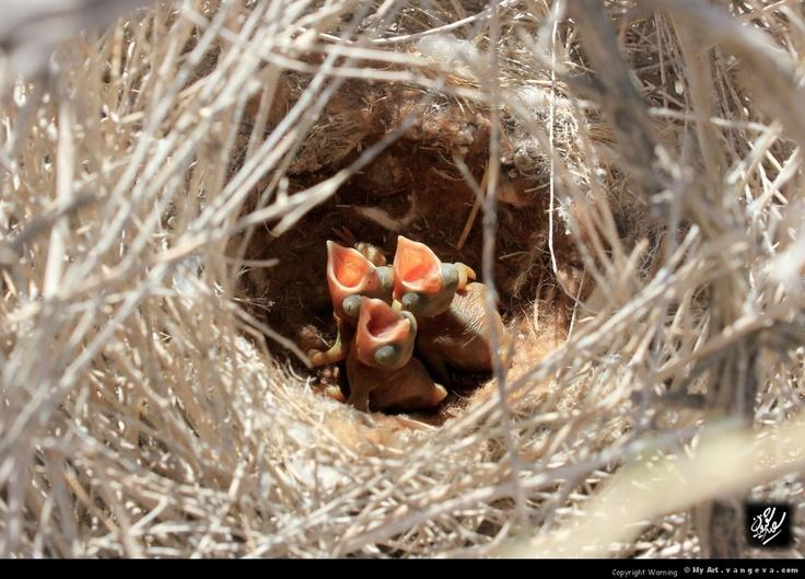 Iranian crow chicks