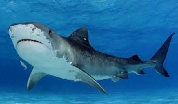 #Los tiburones podrían tener la clave para prevenir síntomas del Parkinson - El Universal (Venezuela): El Universal (Venezuela) Los…