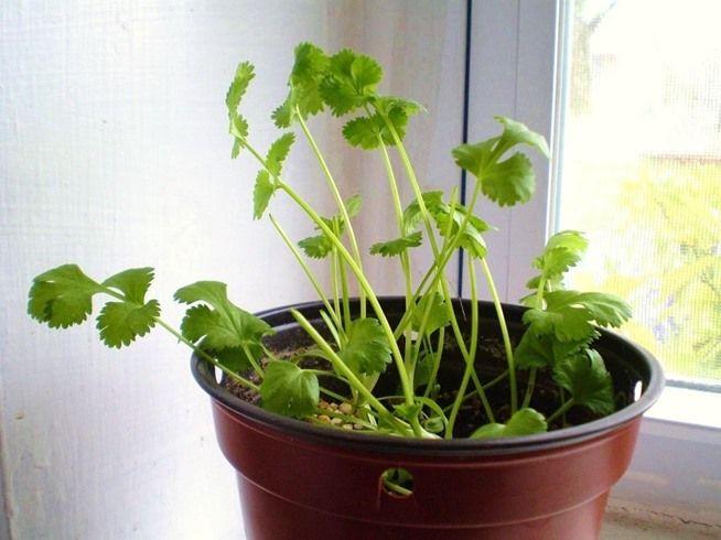 10 vegetales que puedes plantar en tu casa para que nunca te falten en la cocina. Cilantro