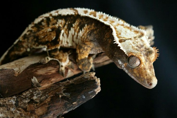 Pin by Sarah Ireland on Gecko Crested gecko, Cute