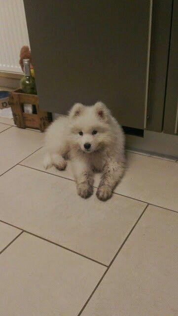 Lyov 9 weeks #samoyed #samojeed #puppy
