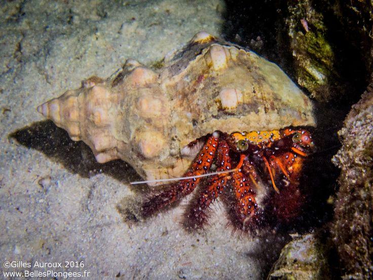 Plongée en Thaïlande : Bernard l'hermite à Honeymoon Bay