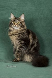 Maine coon cats in michigan for sale