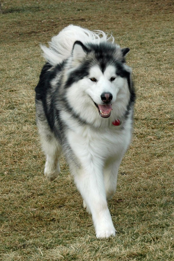 Alaskan Malamute.. Maybe this is why people always assume that's what Roscoe is! Identical.
