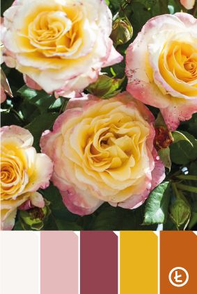 Róża #rose #colours #palette #flowers