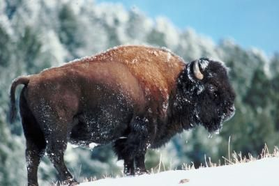 How to Raise Bison