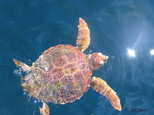 Sea Turtle Pictures - Photos of Sea Turtles: A Loggerhead Spotted Off the Coast of Maine