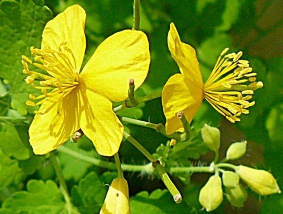 Tratament cu miere si rostopasca pentru refacerea ficatului