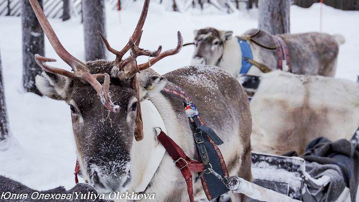 В гостях у Санта Клауса - катание в оленьих упряжках по сказочному ...