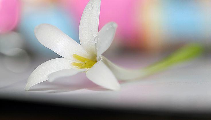 tuberose (Polianthes tuberosa)                                             Ek Shraddha Suman... Rajesh Khanna ke liye...