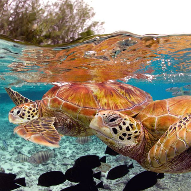 Turtles in Pofai Bay - Bora Bora: LOOK AT HOW CLEAR THE WATER IS! I really want to go there.