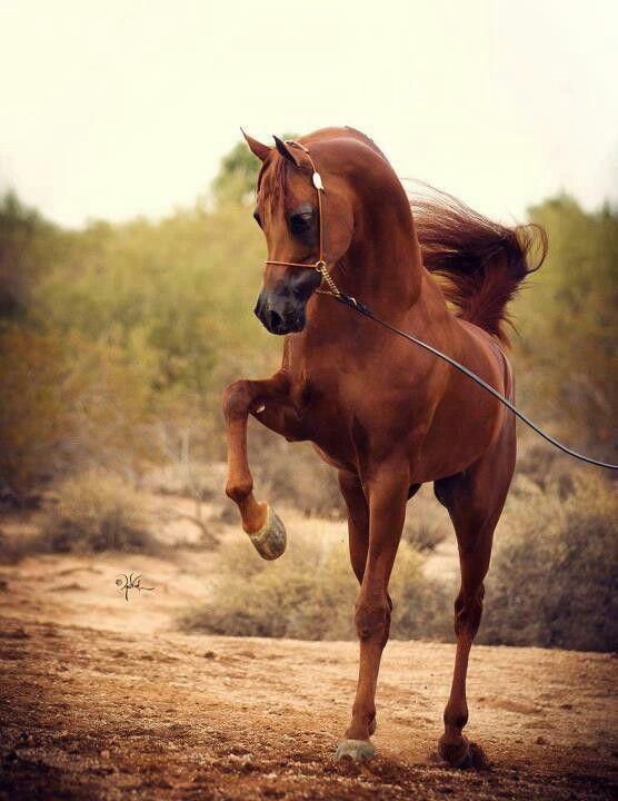 Flashy Sorrel Arabian.