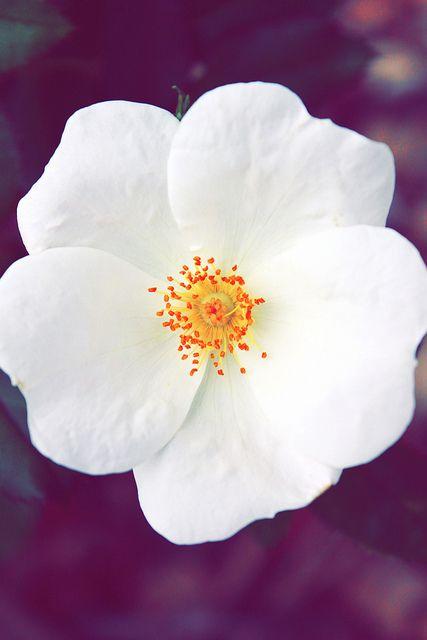 cherokee rose... | Flickr - Photo Sharing!