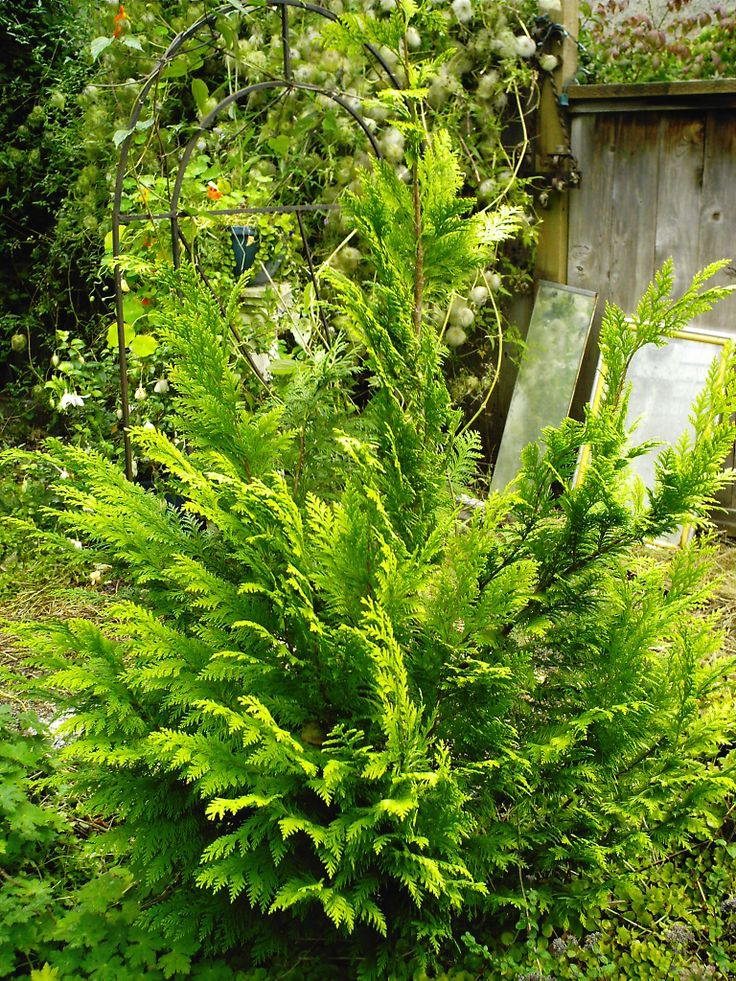 dwarf evergreen shrubs
