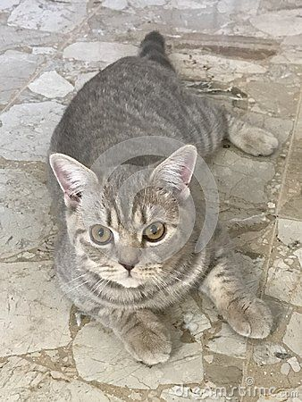 My sweet british shorthair cat at home