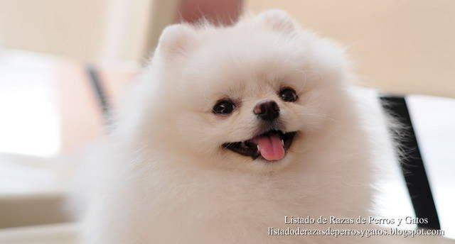 Imagen de un perro Pomerania blanco. Precioso pelaje de la raza Pomerania. Razas de Perros (Image of a white Pomeranian dog. Beautiful coat of Pomerania race. Dog breeds).