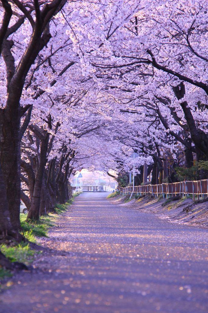 Tarui, Gifu, Japan #TreeTunnel #桜 #CherryBlossom