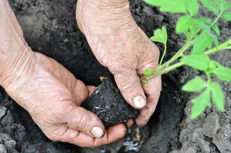 Jak se zbavit plísní na okurkách a jiné zelenině? fungicidy, fytopatogeny, pythium, oligandrum, ochrana, rostlin, před, plísněmi, houby, plísně, První a nejdůležitější krok, kterým se zbavíme plísní na okurkách a jiné zelenině, je ošetření…