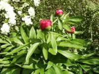 How to plant, grow, & care for peonies