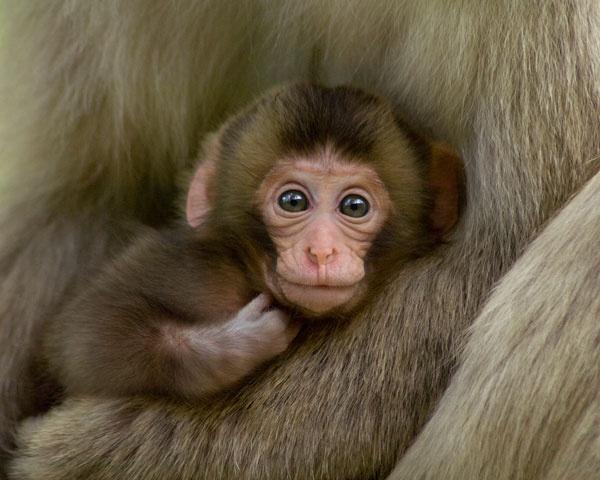 Baby Snow MonkeyClasp Newborns, Fuscata Japan, Animal Baby, Angelnatur Vision, Monkeys Macaca, Baby Snow Monkeys, Baby Animal, Baby Monkeys, Newborns Snow
